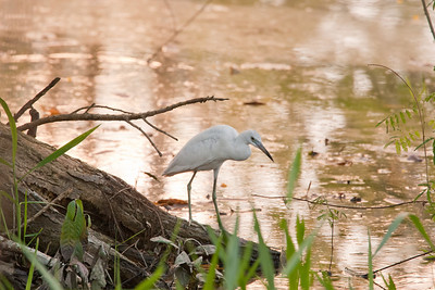 Little Blue Heron, White Phase