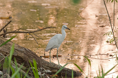 Little Blue Heron, Juvenile.