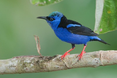 Red-legged honeycreeper in cecropia tree
