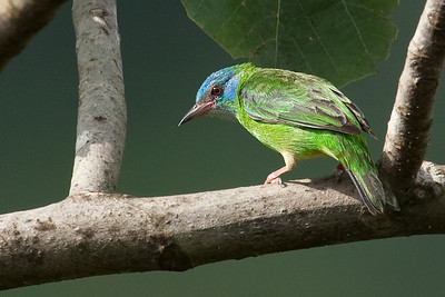 Blue dacnis, female