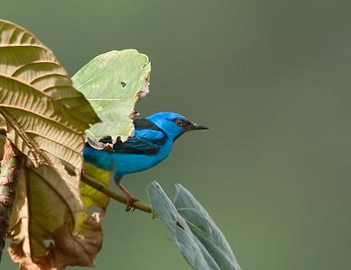 Blue Dacnis, male