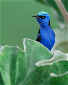 Red-legged honeycreeper on cecropia leaf.