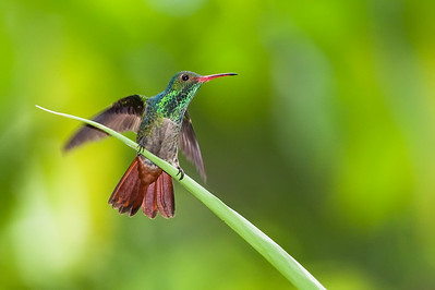 Rufous-tailed hummingbird, male