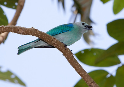 Blue-gray tanager singing