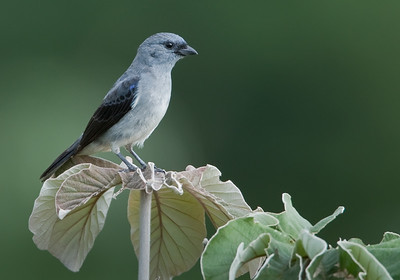 Plain-colored tanager