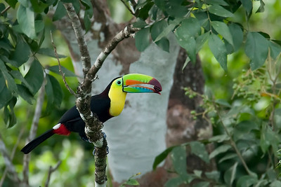 Keel-billed toucan with nut
