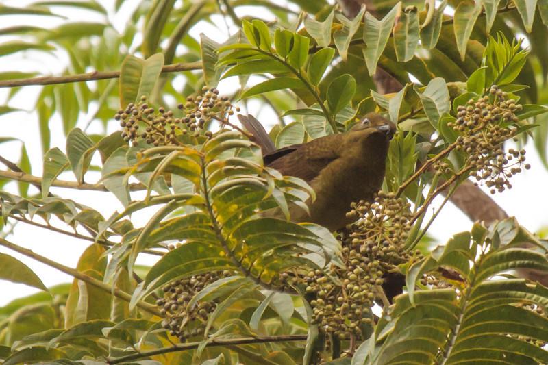 Loria's Bird of Paradise (female)