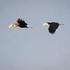 Papuan Hornbills