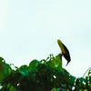Twelve - Wired Bird of Paradise<br /> Documentary Image for those who know how hard it was to see this very unusual bird.
