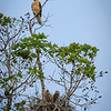 Whistling Kite and Nest