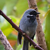 Black-throated Robin