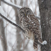 Barred Owl in a Snow Storm