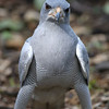 This pose just made me laugh!  Pale Chanting Goshawk.
