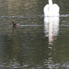 Dabchick passes Mute Swan