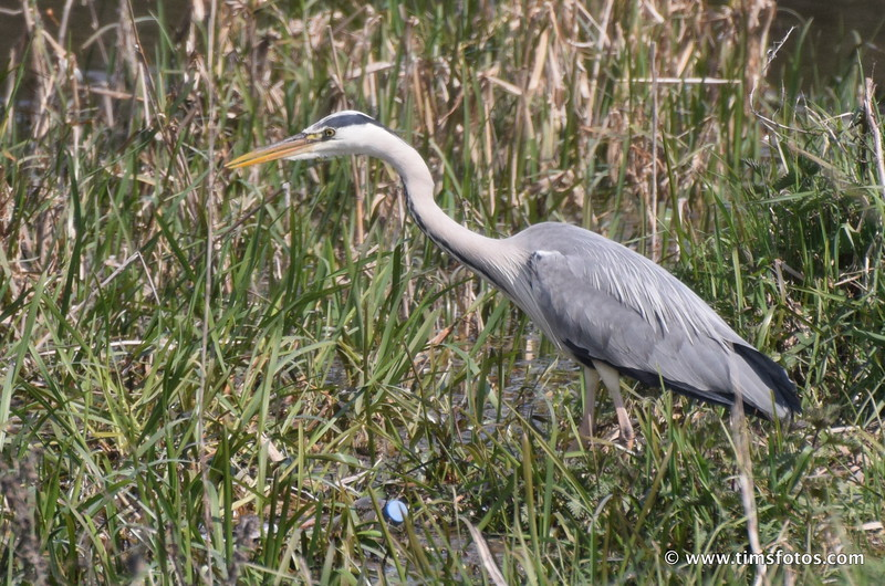 Grey Heron hunting