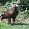 Golden Eagle female