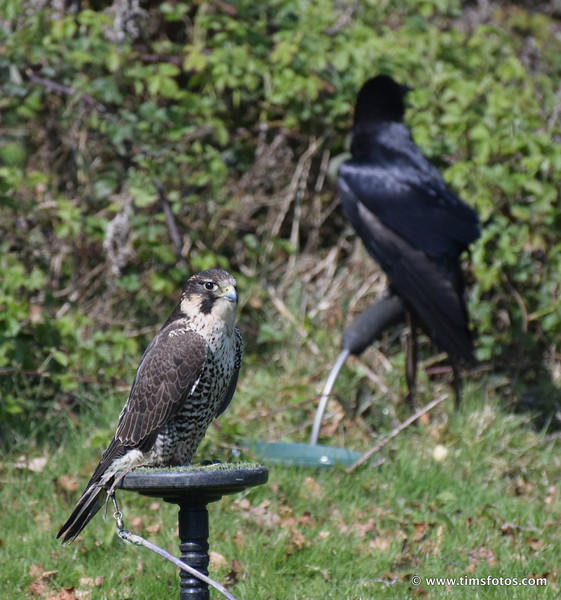 Peregrine (Raven in background)