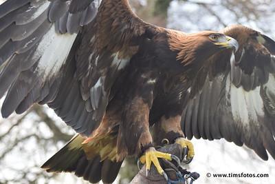 Golden Eagle wings spread