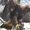 Golden Eagle wings spread
