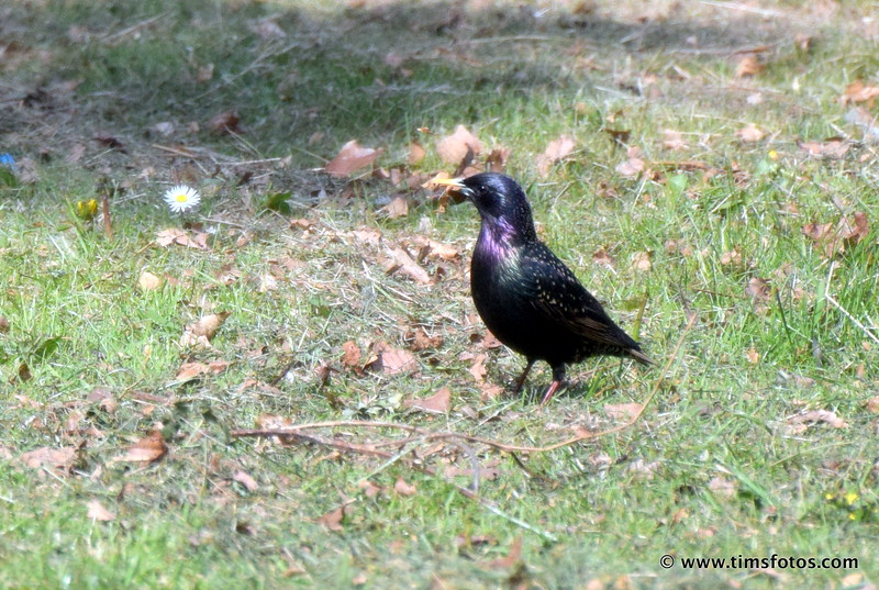 Starling collecting nesting material