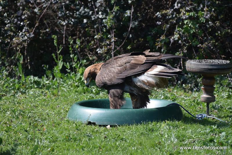 Golden Eagle female
