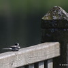Pied Wagtail having a rest