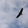 Grey Heron soaring