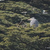 Grey Heron on nest