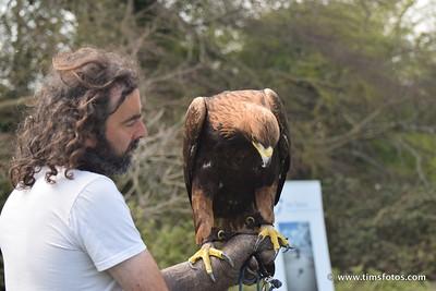 Golden Eagle at rest