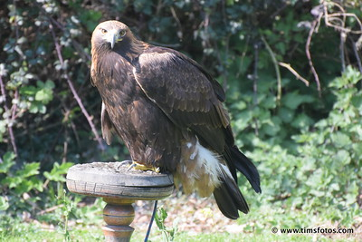 Golden Eagle male