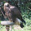 Golden Eagle male
