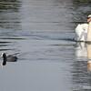 Coot passes Mute Swan
