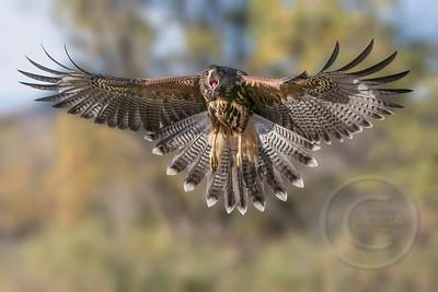 Hungry Harris's Hawk