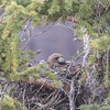 Red-Tailed Hawk Sits On Nest