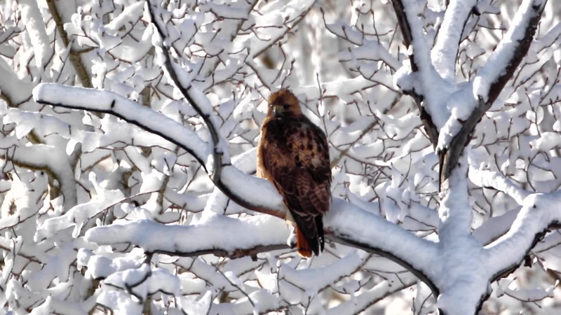 Red-Tailed hawk After The Snowfall