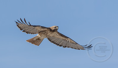 Red-Tailed Hawk on High Glide