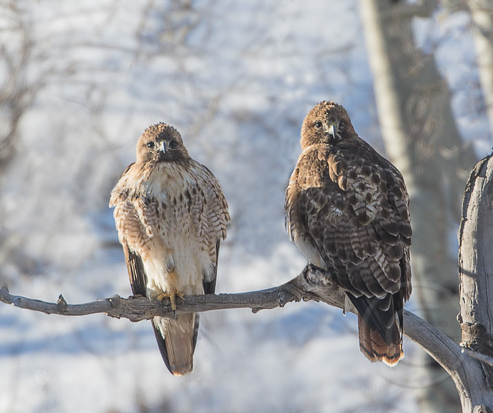 Red-tailed Hawk Pair Watch For Prey