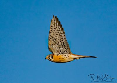 Kestrel Side View Wings Up
