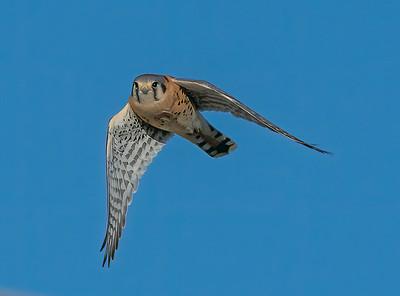 American Kestrel In flight Wings Down