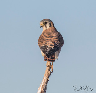 Kestrel Watching
