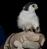 African Pygmy-falcon