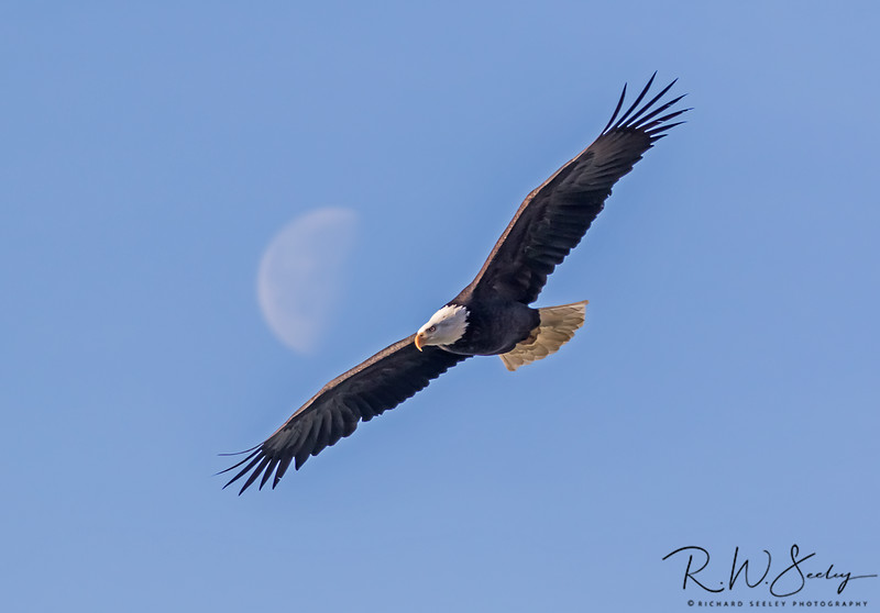 Bald Eagle Flies Under The Moon