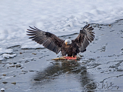 Leftovers - A bald eagle takes ownership of a partially eaten salmon. Haines, Alaska.
