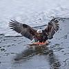 Leftovers - A bald eagle takes ownership of a partially eaten salmon. Haines, Alaska.