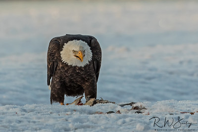 Bald Eagle Claims The Fish Prize