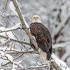 Pondering Prey in the Snow