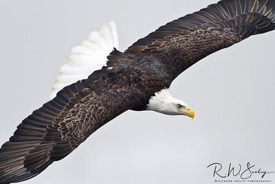 Eagle Circling