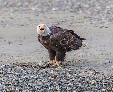 Fish Claim - A bald eagle squawks its claim of ownership to a salmon on the beach. Haines, Alaska.