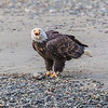 Fish Claim - A bald eagle squawks its claim of ownership to a salmon on the beach. Haines, Alaska.