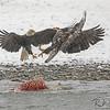 Clash Over A Carcass